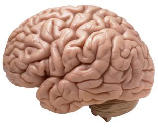 Brain cropped